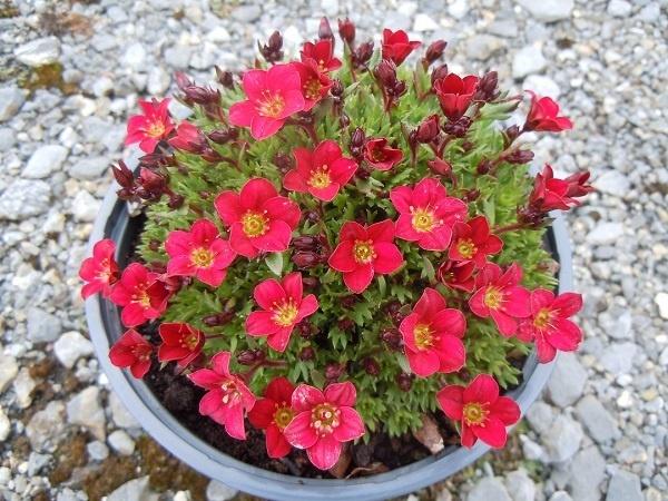 Saxifraga Pixi Pan Red 163 4 75 0 10cm High Ground