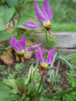 Dodecatheon maedia for the connoisseur plants for for Plants for small gardens