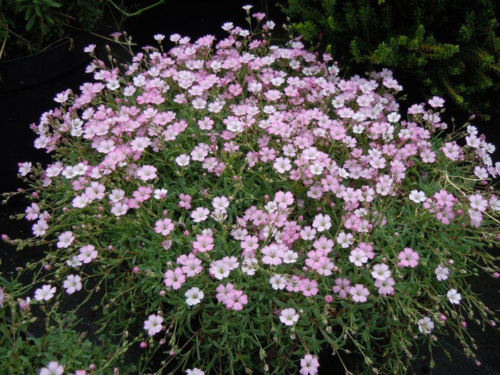 GYPSOPHILA repens 'Dorothy Teacher'