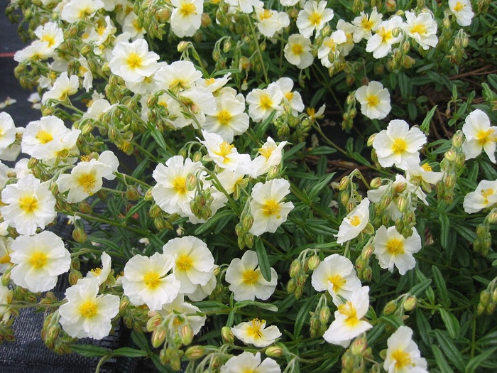 HELIANTHEMUM 'New Moon'