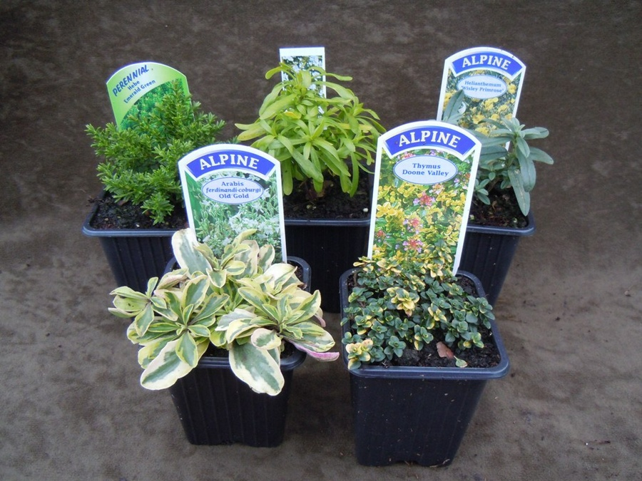The Window Box Collection - 5 plants for a 60cm wide window box