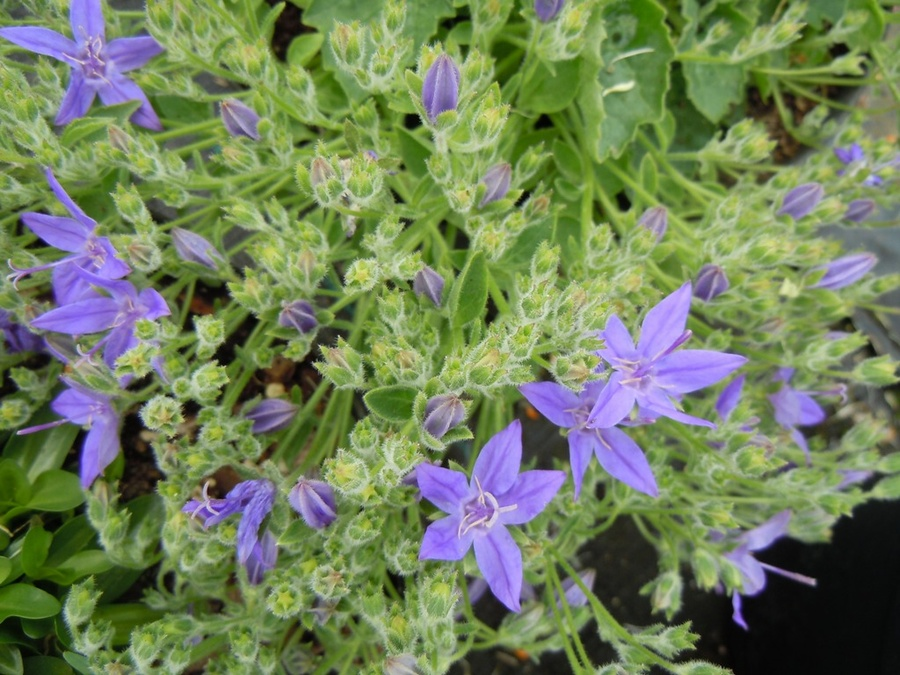 CAMPANULA garganica 'Blue Diamond'