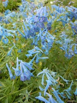 CORYDALIS flexuosa 'Kingfisher'