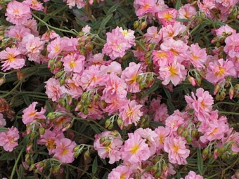 HELIANTHEMUM 'Pink Angel'
