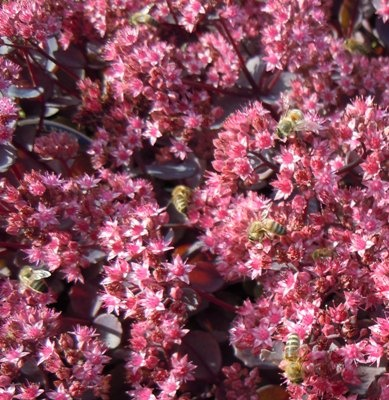 Early Spring flowering kabschia Saxifrages