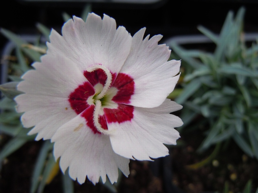 DIANTHUS 'Starry Eyes'