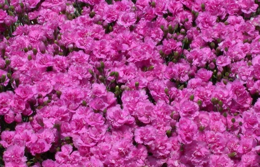DIANTHUS 'Whatfield Can Can'