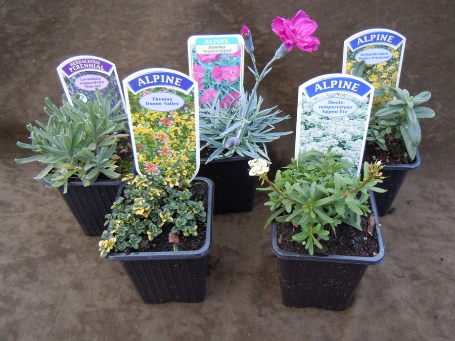 The Sunny Collection - a collection of 5 plants for a sunny site