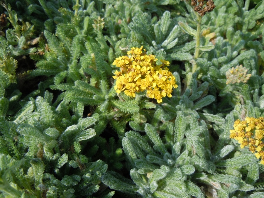 ACHILLEA 'Golden Fleece'