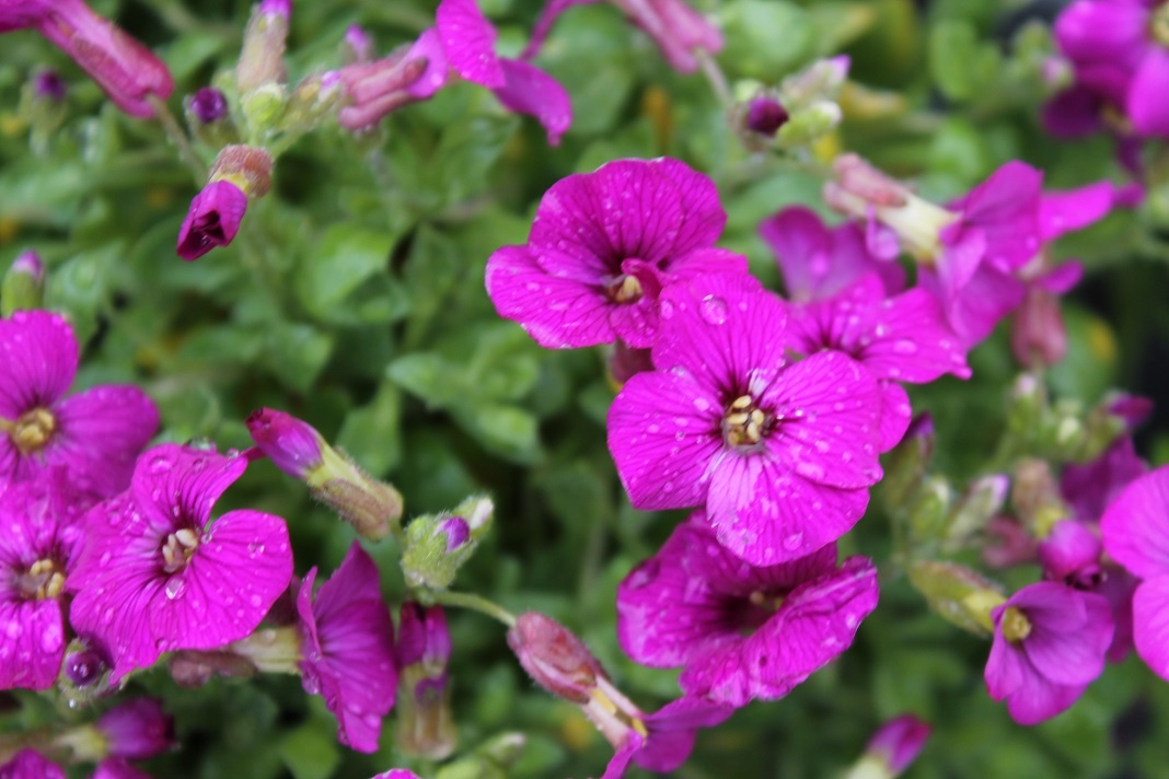 AUBRIETA 'FLORADO ROSE RED'